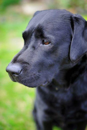 black-labrador-retriever-PSYDLEJ